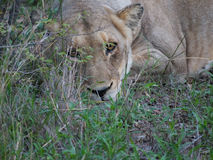 Female lion lying in the grass Stock Photography