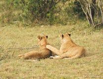 Female Lion, Masai mara, Kenya Stock Image