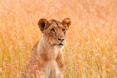 Female lion in Masai Mara Stock Image