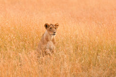 Female lion in Masai Mara Royalty Free Stock Images