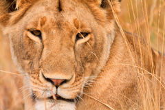 Female lion in Masai Mara Royalty Free Stock Photo