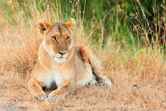 Female lion in Masai Mara Stock Photo