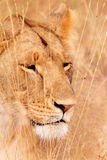 Female lion in Masai Mara Stock Photography