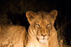 Female lion at night Stock Images