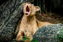 Lioness yawning. Female lion, Old brown lioness yawning Royalty Free Stock Photography