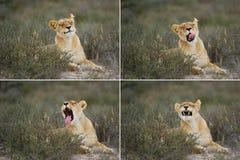 Female Lion (Panthera leo) Royalty Free Stock Image
