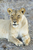 Female Lion (Panthera leo) Botswana. A female African Lion resting in the shade in Botswana Royalty Free Stock Photo