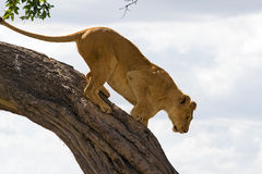 Female lion (panthera leo) climbing down a tree Royalty Free Stock Photo