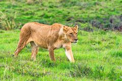 Lioness walks in savanna Royalty Free Stock Image