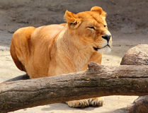 Female lion (Panthera leo) in a zoo Royalty Free Stock Photo