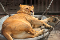 Female lion (Panthera leo) in a zoo Stock Image
