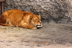 Female lion (Panthera leo) in a zoo Stock Photos