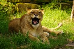 Female lion. Royalty Free Stock Photos
