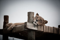 Female lion on platform Royalty Free Stock Photo