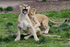 Female Lion Playing With Cubs - Denver Zoo Animal. A Family of Lions - Denver Zoo Animal stock image