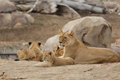 Female Lion Playing With Cubs - Denver Zoo Animal. A Family of Lions - Denver Zoo Animal stock photo