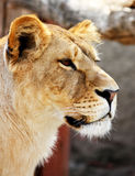 Female lion portrait Royalty Free Stock Photography