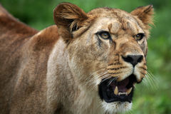 Female lion portrait Stock Photo