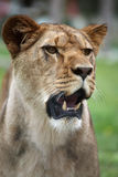 Female lion portrait Stock Images