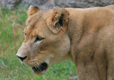 Female lion portrait. A headshot of a female lion Royalty Free Stock Photography