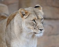 Female lion portrait Royalty Free Stock Image
