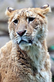 A female Lion portrait Stock Images