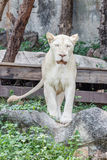 Female lion Stock Photography