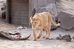 Female lion with prey Stock Images