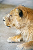 Female lion profile Stock Photo