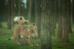 Female lion protecting its prey Stock Photography