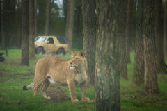 Female lion protecting its prey Royalty Free Stock Images