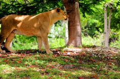 Female lion on the prowl listening Stock Photography