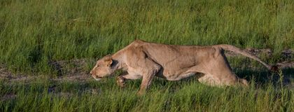 Stalking time. Female lion ready to attack in the green grass in Khwai Nature Reserve Royalty Free Stock Images