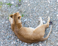 Female lion relaxing on gravel in the afternoon Stock Photos