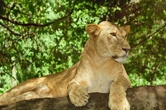 Female lion Royalty Free Stock Image