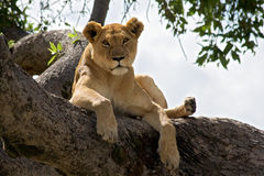 Female lion resting on a branch in a tree. Stock Photography