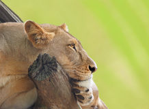 Female Lion Resting Royalty Free Stock Images