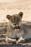 Female lion resting Royalty Free Stock Photography