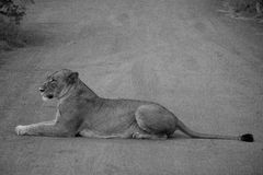 Female Lion. A female lion resting in the middle of the road Stock Images