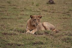 Female lion resting in the morning sun. Picture taken in Uganda, Queen Elisabeth National park, during morning game drive stock image