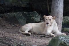 female lion resting near tree Stock Photos
