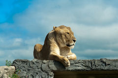 Female Lion resting on a Rock. Femaile Lion resting on a rock in Sunlight Stock Photography