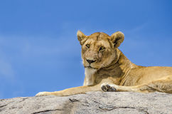 Female lion resting. On the rock in Serengeti, Tansania Royalty Free Stock Image