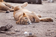 Female lion resting on the sun Royalty Free Stock Photos