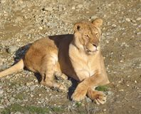 Female Lion resting in sunny day Royalty Free Stock Image