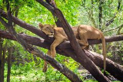 Female lion is resting on the tree. royalty free stock image
