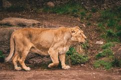 Female lion in a zoo royalty free stock photos