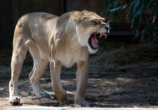 Female lion roaring Royalty Free Stock Images