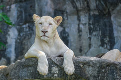 Female lion. On rocks, Khao Kheow Open Zoo, Thailand Royalty Free Stock Photography