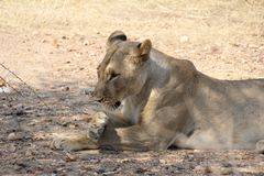 Female lion at ruaha national park tanzania stock photo